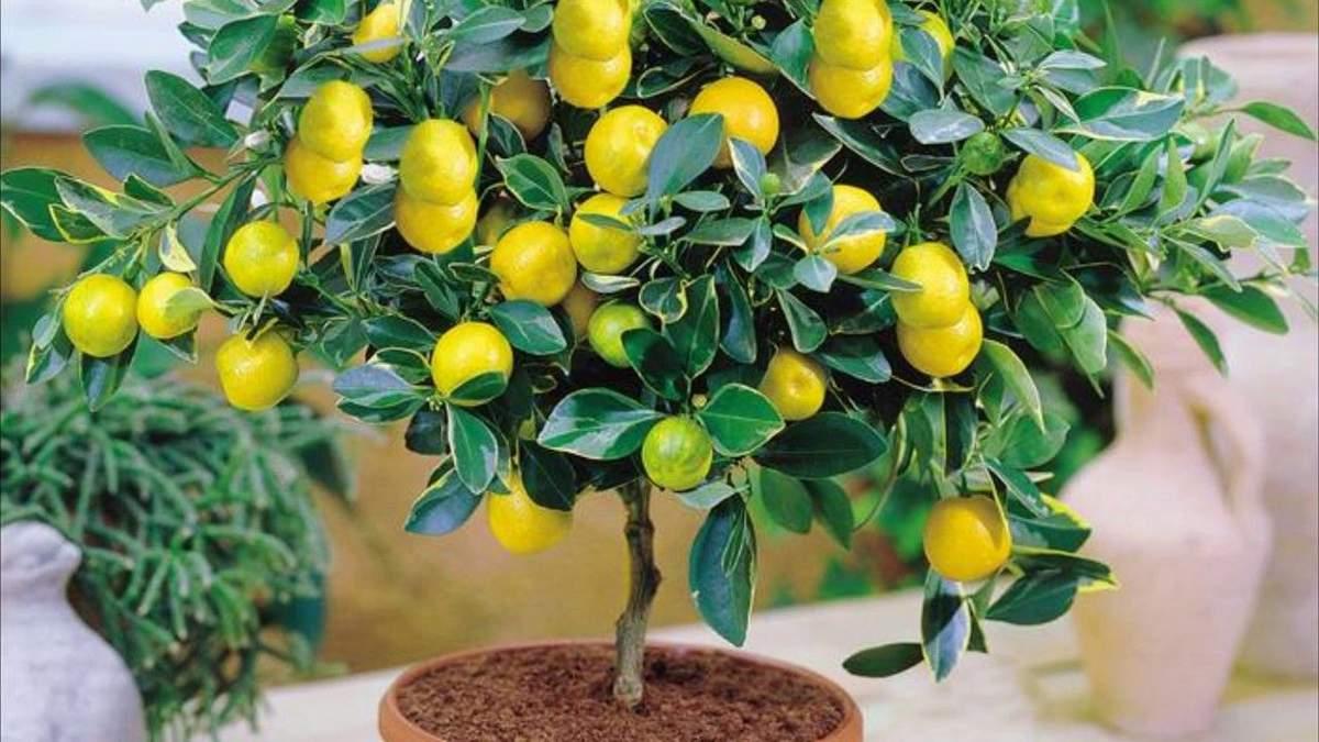 Кімнатні лимони не потребують запилення