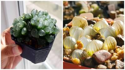Хавортія Купера – дивовижна рослина, яка може стати окрасою будь-якого інтер'єру